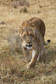 Serengeti Lioness Stock Image - Image: 8448251