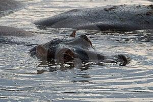 Hippo Stock Photo - Image: 8448260