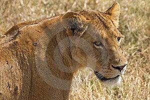 Lioness Closeup Stock Image - Image: 8448261