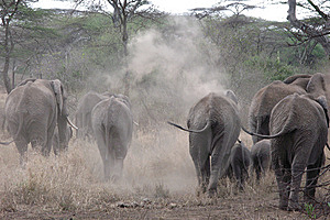 Herd Of African Elephants Royalty Free Stock Photography - Image: 8448337