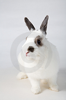 White Rabbit Royalty Free Stock Photo - Image: 8448675