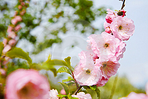 Cherry Blossoms Royalty Free Stock Image - Image: 8449446