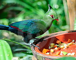 Livingstone Turaco Royalty Free Stock Photo - Image: 8450695