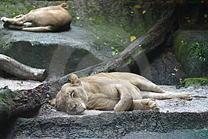 Sleeping Lionesses Royalty Free Stock Images - Image: 8450709