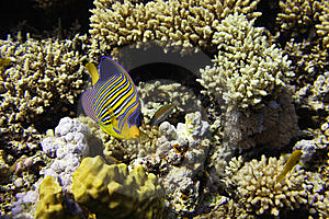 Royal Angelfish Royalty Free Stock Photography - Image: 8451877