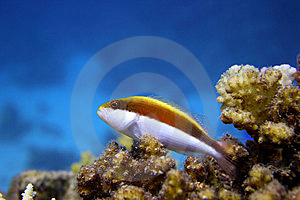Hawkfish Royalty Free Stock Photo - Image: 8452065
