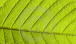 Green Leave Royalty Free Stock Photography - Image: 8452417