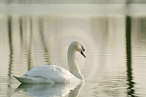 Lone Swan At Winter Sunset Stock Photography - Image: 8452652