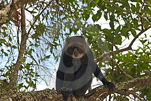 Guenon Royalty Free Stock Images - Image: 8453309