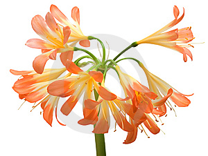 Clivia Miniata Stock Photos - Image: 8453663