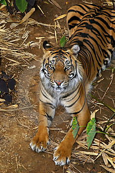 Sumatran Tigress Stock Image - Image: 8455811