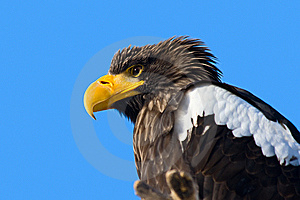 Steller's Sea Eagle Royalty Free Stock Photo - Image: 8457095