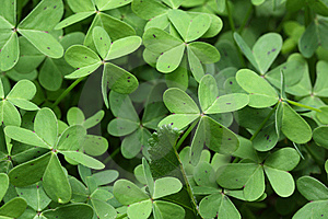 Clover Stock Images - Image: 8457104