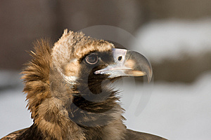 Eurasian Black Vulture Stock Photography - Image: 8457182