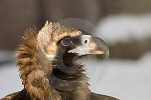 Eurasian Black Vulture Stock Photography - Image: 8457182