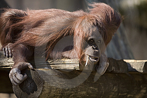 Straw-Chewin' Chimp Royalty Free Stock Image - Image: 8458046
