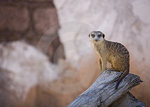Meerkat Glaring Stock Photo - Image: 8458190
