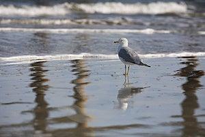 Reflected Gull Royalty Free Stock Photos - Image: 8458198