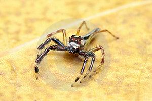Spider (Epeus Alboguttatus) Royalty Free Stock Photography - Image: 8458757