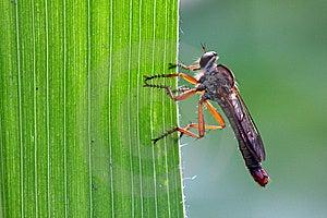 Carnivorous Tabanidae Stock Photography - Image: 8459012