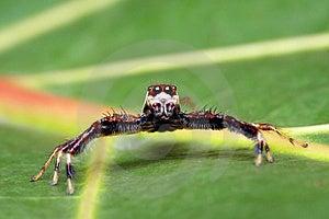 Spider (Epeus Alboguttatus) Royalty Free Stock Photos - Image: 8459158