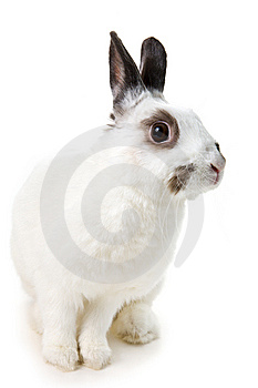 White Rabbit Royalty Free Stock Image - Image: 8459696