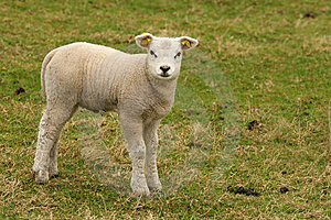 Cute Little Lamb Looking At You Royalty Free Stock Image - Image: 8459786