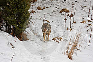 Wolf In The Snow Royalty Free Stock Photo - Image: 8459825