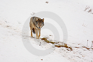 Wolf In The Snow Stock Images - Image: 8459864