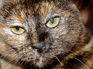 Cat Face Stockbild - Bild: 8459921