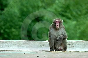 Snow Monkey Royalty Free Stock Images - Image: 8460139