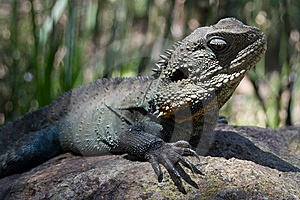 Lizard On Rock Royalty Free Stock Image - Image: 8460176