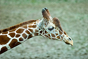 Giraffe Head Stock Photography - Image: 8460182