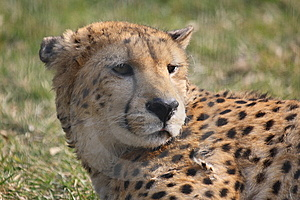 Cheetah Royalty Free Stock Photo - Image: 8461065
