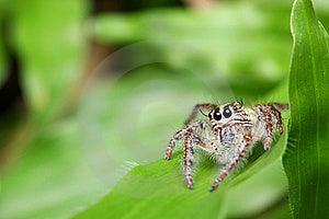 Spider (Rhene Atrata) Royalty Free Stock Image - Image: 8461256