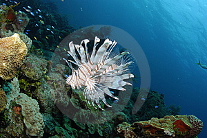 Lionfish Stock Photography - Image: 8461592