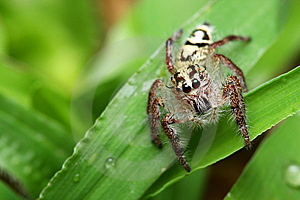 Spider (Rhene Atrata) Stock Photo - Image: 8461600