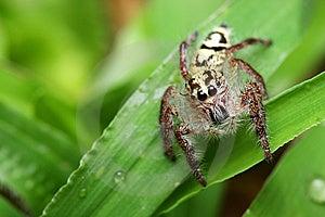Spider (Rhene Atrata) Stock Photo - Image: 8461600