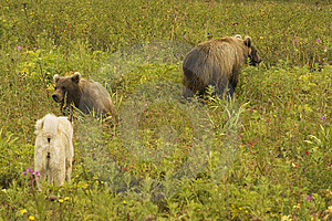 Brown Bear (Ursus Arctos Jeniseensis) Royalty Free Stock Photo - Image: 8461625