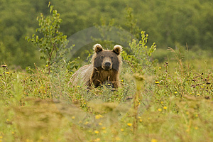 Brown Bear (Ursus Arctos Jeniseensis) Stock Photos - Image: 8461683