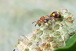 Wasp On Nest Stock Photos - Image: 8461943