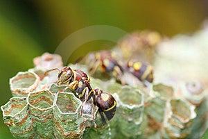 Wasp On Nest Stock Image - Image: 8462241