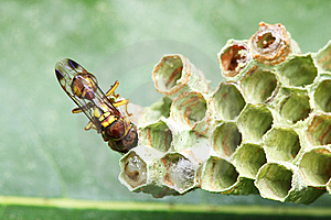 Wasp On Nest Royalty Free Stock Images - Image: 8462339