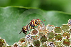 Wasp On Nest Stock Photo - Image: 8462910