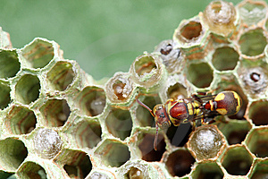 Wasp On Nest Royalty Free Stock Photography - Image: 8463107