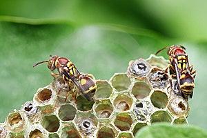 Wasp On Nest Royalty Free Stock Photography - Image: 8463227