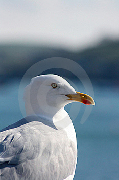 Seagull Stock Images - Image: 8463424
