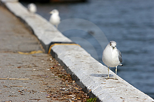 Seagull Royalty Free Stock Image - Image: 8463606
