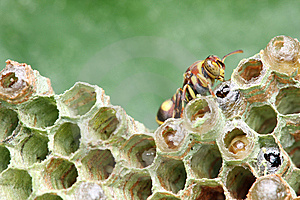 Wasp On Nest Royalty Free Stock Image - Image: 8463616