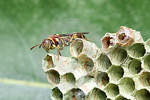 Wasp On Nest Royalty Free Stock Image - Image: 8463786